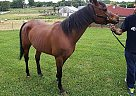Arabian Mare for Sale in Sparta, Tennessee