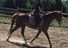 Other Gelding for Sale in Pointe-Fortune, Quebec