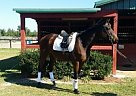 Thoroughbred Mare for Sale in Williston/aiken, South Carolina