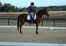 Thoroughbred Gelding for Sale in Williston/aiken, South Carolina