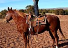 Tank - Gelding in Anton Chico, NM