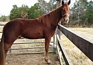 Tennessee Walking Gelding for Sale in Sutherlin, Virginia