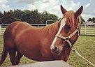 Quarter Horse Mare for Sale in Saint Charles, Missouri