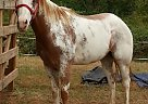 - Gelding in Pine Mountain, GA