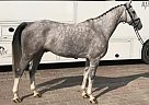 Oldenburg Gelding for Sale in Frankfurt, Germany